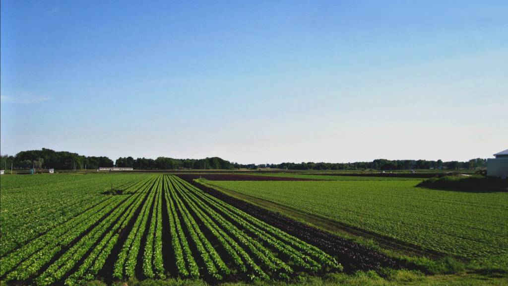 Rows of green crops under a blue sky