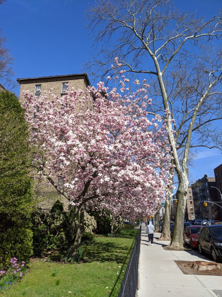 A tree flowering in Jackson Heights, Queens