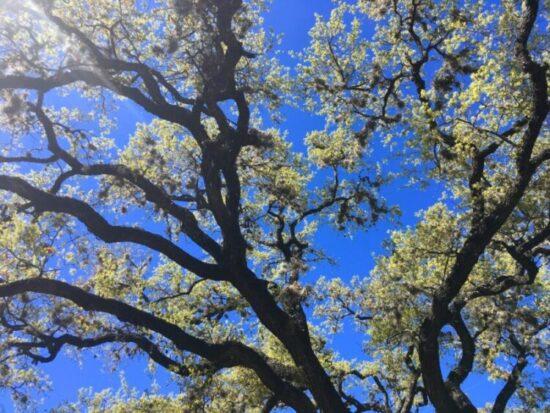 Trees in Austin, TX